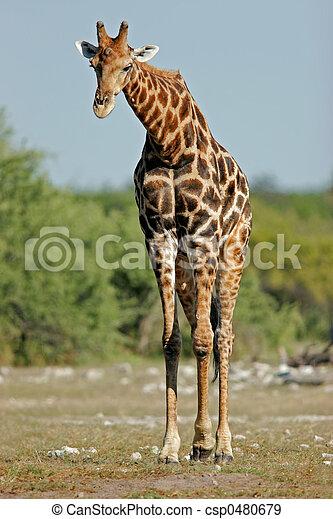Giraffe, Stier - csp0480679
