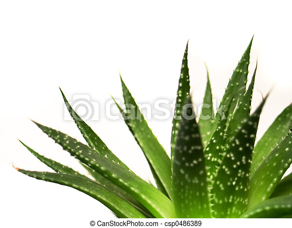 aloe vera leaves detailed - csp0486389