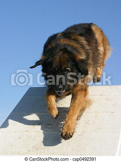 Stock Photography of leonberger agility - dog purebred leonberger ...