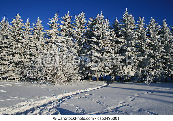 Frost on Evergreens  - csp0495801