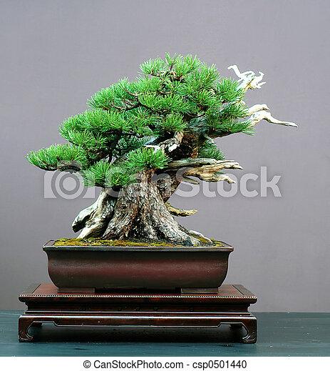 mugo pine bonsai - csp0501440