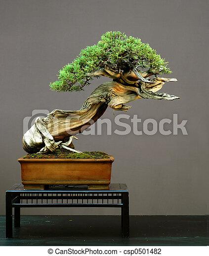 Rocky Mountain Juniper bonsai - csp0501482