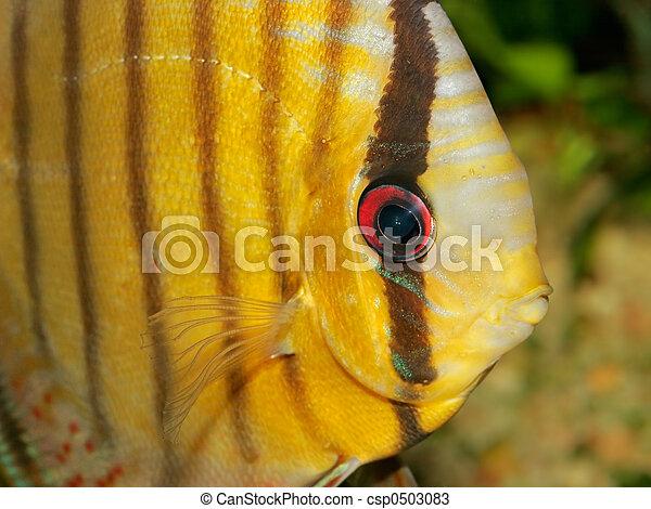 Discus fish - csp0503083