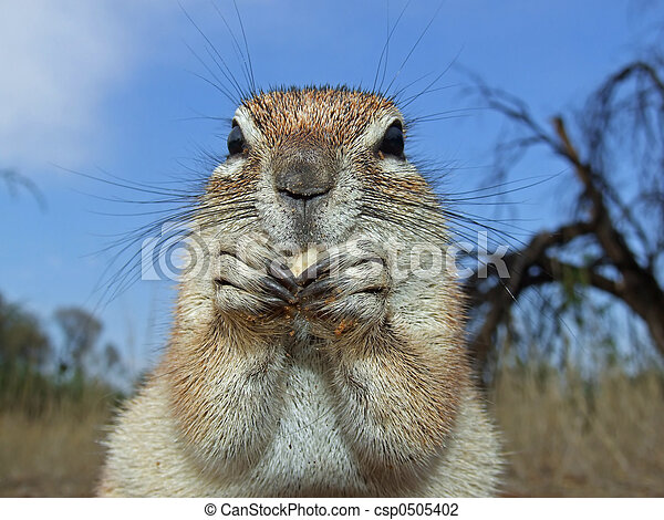 Ground squirrel - csp0505402