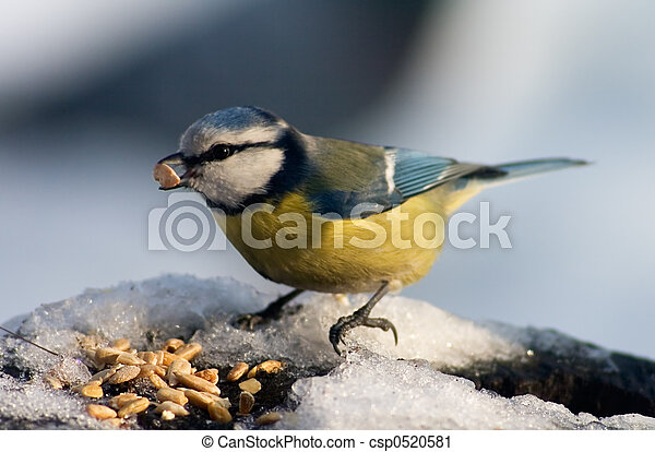 Blue tit bird eating seeds - csp0520581