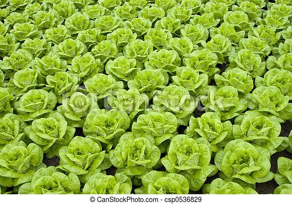 lettuce - csp0536829