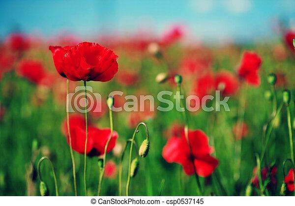 Poppy field - csp0537145