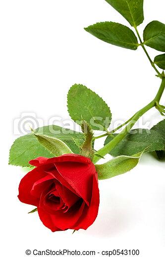 Valentine rose - csp0543100