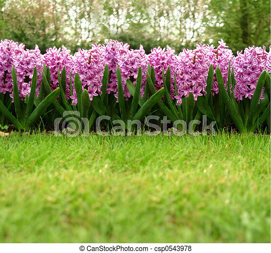 hyacinth - csp0543978