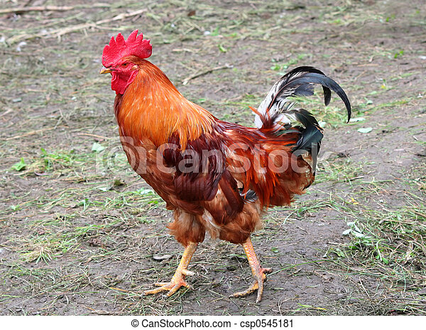 Rooster - csp0545181