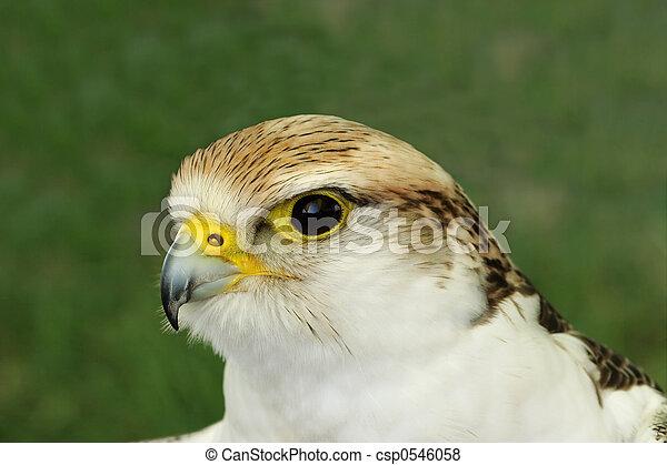 Falcão, presa, pássaro - csp0546058