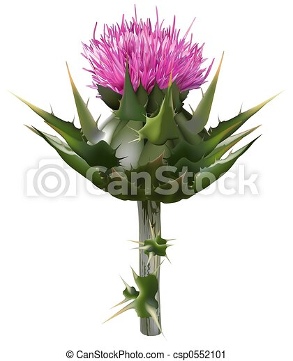 Clipart of Milk thistle (Silybum marianum) - High detailed and ...