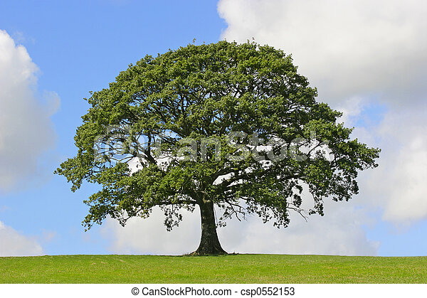 Oak Tree, Symbol of Strength - csp0552153