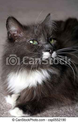 Pedigree Maine Coon - csp0552190