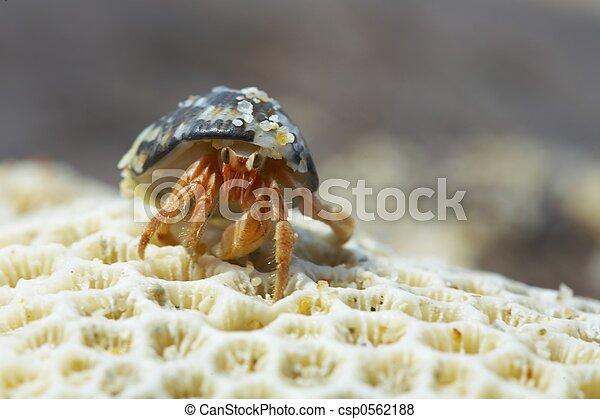 hermit crab - csp0562188