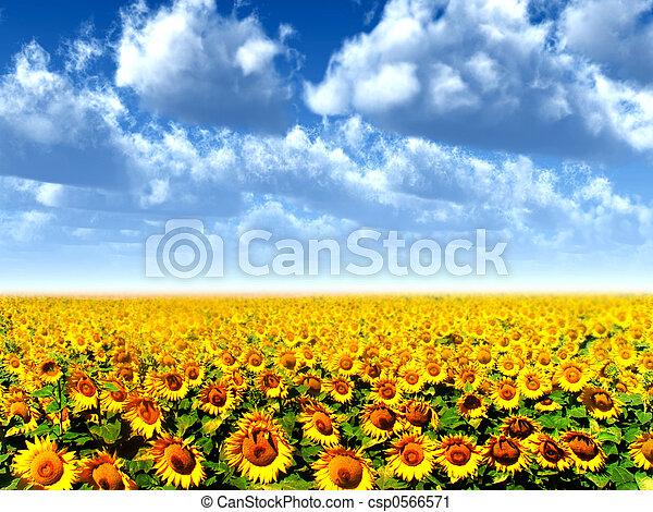 landscape with sun flowers and clouds