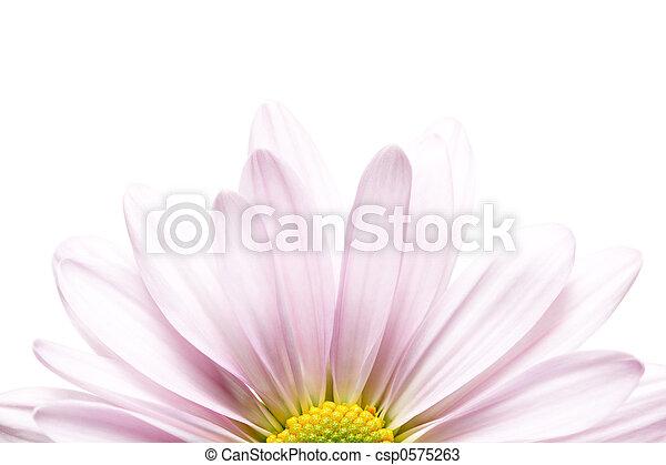 daisy sunrise - csp0575263