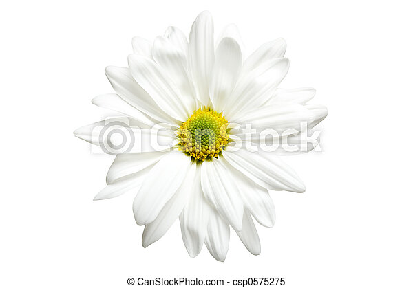 white daisy isolated - csp0575275