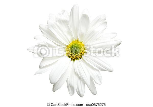 white daisy isolated - csp0575275
