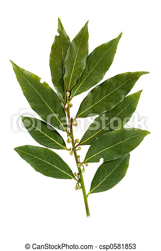 Bay leaf isolated on white background - csp0581853