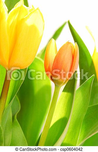 Close up on fresh backlit tulips on white background