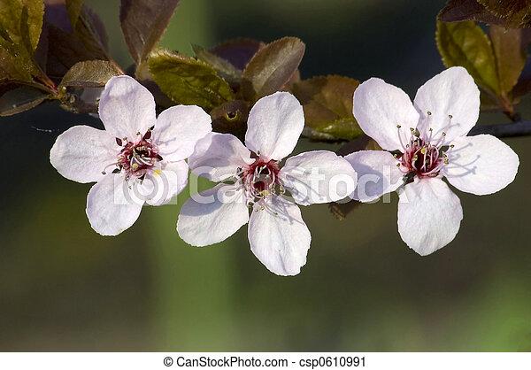 spring blossom on brnach - csp0610991