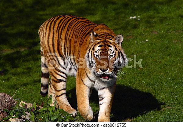 Siberian Tiger - csp0612755