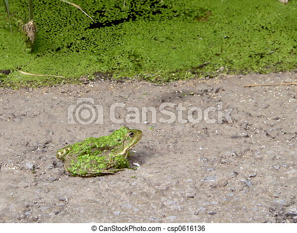 Green frog  - csp0616136