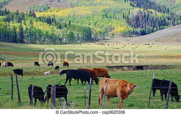 Cattle Grazing - csp0620306