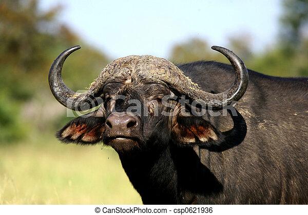 African Buffalo Portrait - csp0621936