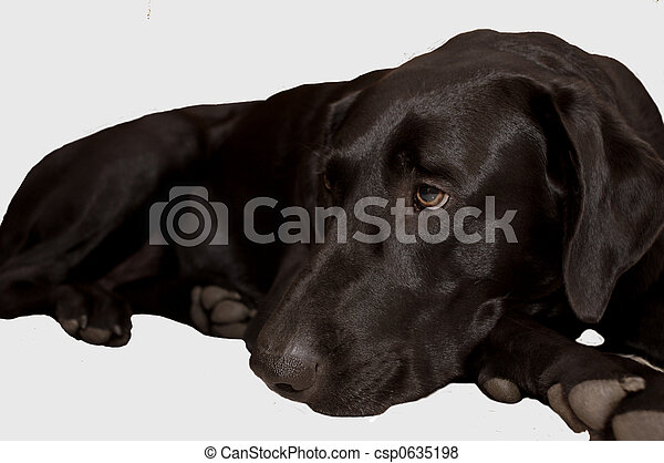 Pictures of Black Lab - Female black labrador retriever lying down ...