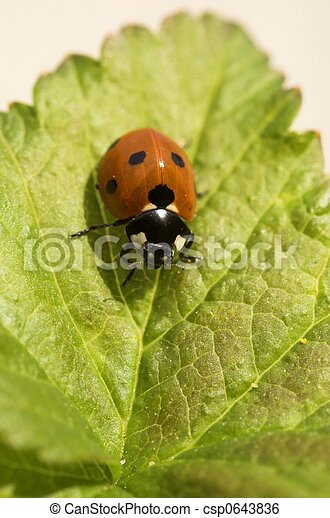 Ladybird on Currant Leaf - csp0643836