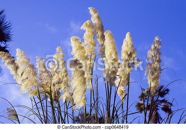 Pampa grass - csp0648419