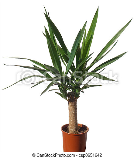 stock photo of house palm yucca window plant yucca. Black Bedroom Furniture Sets. Home Design Ideas