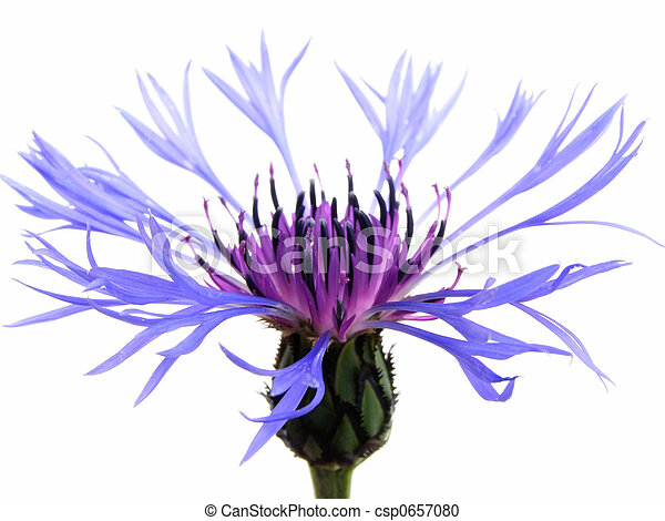 blue cornflower - csp0657080