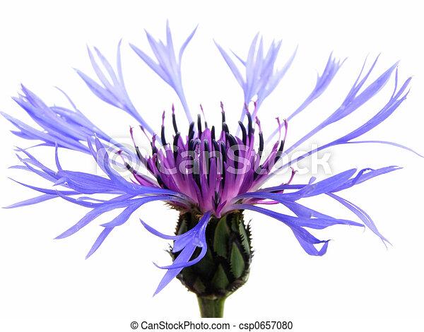blue cornflower - csp0657080