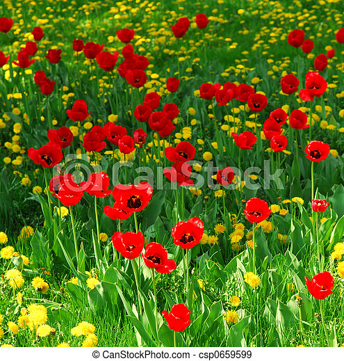 Red tulips and yellow dandelions blooming in a spring field