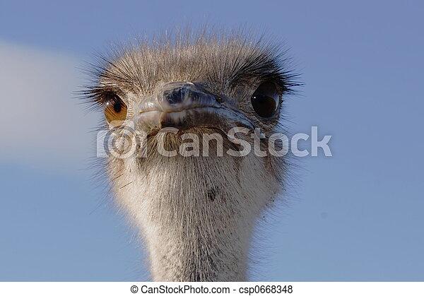 Ostrich very closeup - csp0668348