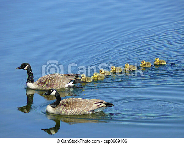 Canadian Goose Family - csp0669106