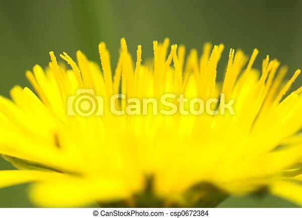 Dandelion Close-up 2 - csp0672384