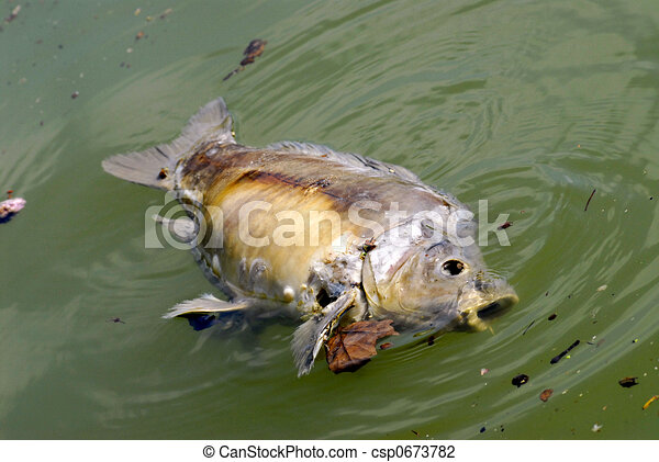 Clip Art of dead fish - Carp died on the surface of water due to ...