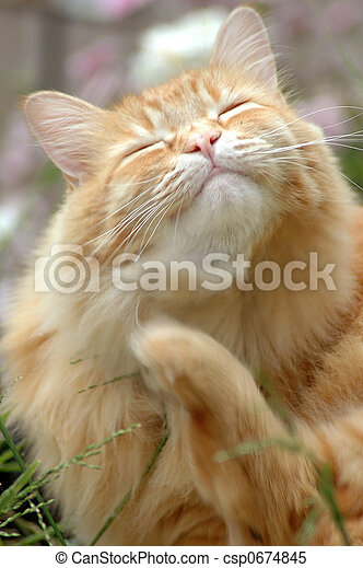 orange cat scratching  - csp0674845