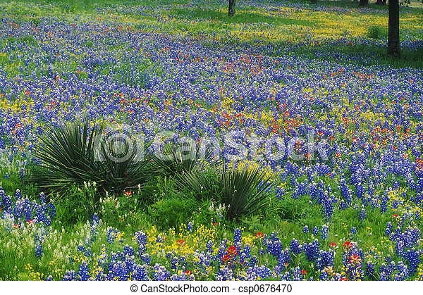 Field of Bluebonnets and Paintbrush - csp0676470