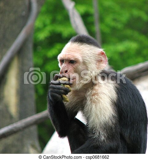 stock foto von capuchin affe a foto von a affe csp0681662 suchen sie stock fotografie. Black Bedroom Furniture Sets. Home Design Ideas