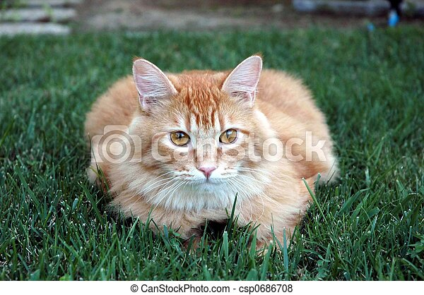 Pictures of Orange cat on grass - Beautiful orange maine coon cat ...