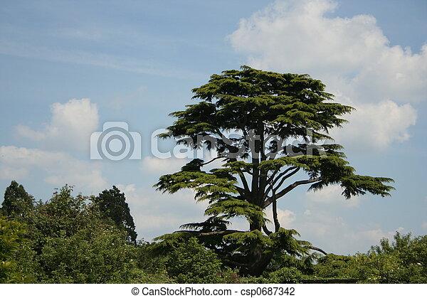 cedar tree - csp0687342