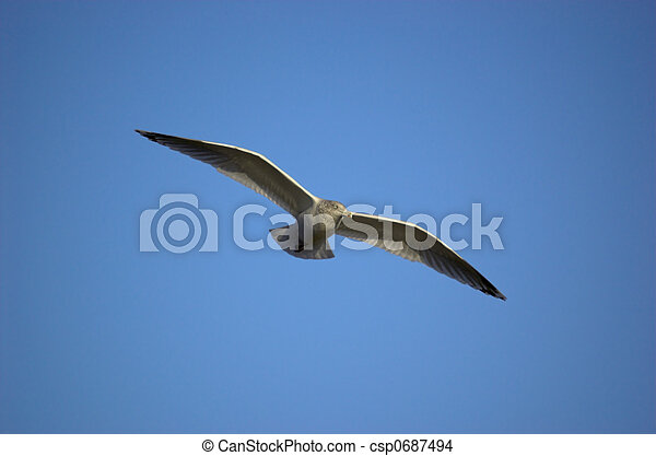 Seagull in Flight - csp0687494