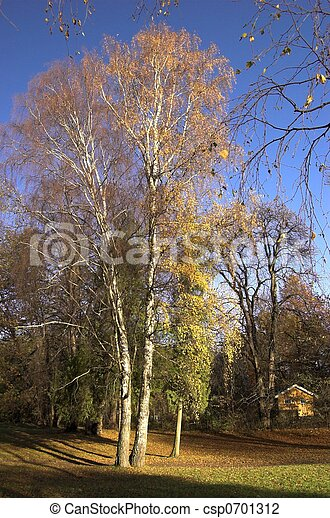 Birch in Autumn 1 - csp0701312