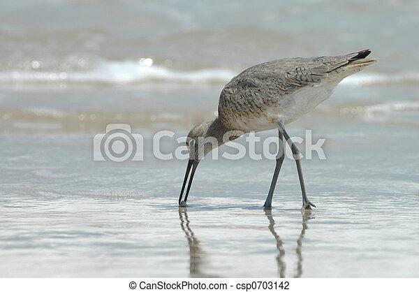 Feeding Willet Bird - csp0703142