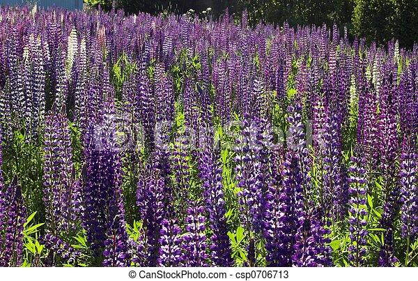 A Fieldful of Lupins - csp0706713